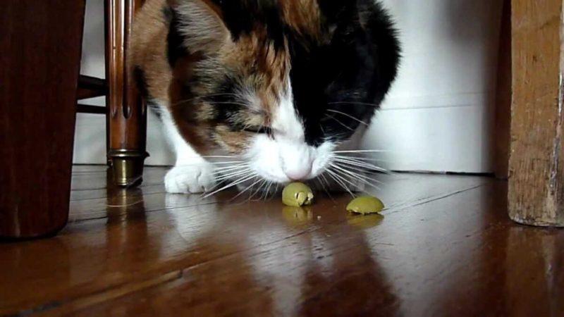 """Gatti: """"drogati"""" di olive!"""