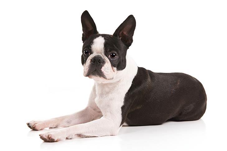 Boston Terrier: il cane con un concentrato di simpatia e dolcezza!