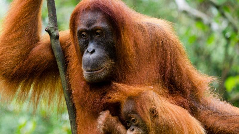 Orango di Sumatra: solo 800 esemplari!