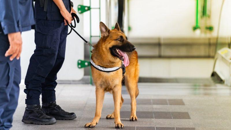Cani antidroga: come svolgono il loro importante compito!