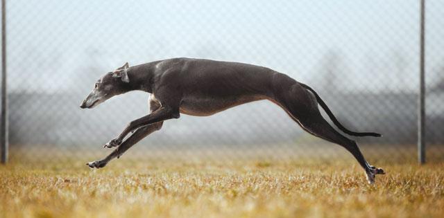 Coursing: lo sport cinofilo per i levrieri!