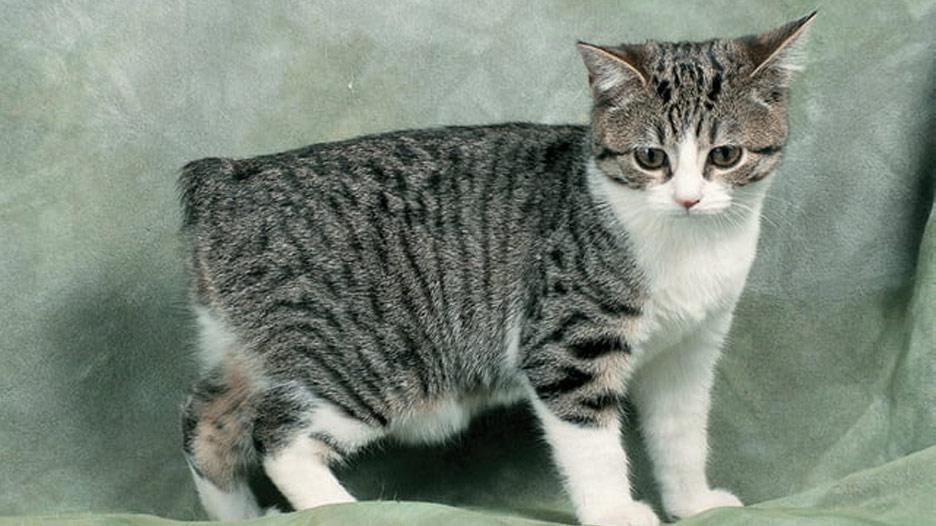 Manx: il gatto-cane senza coda!