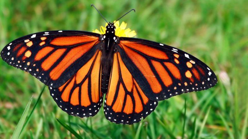 Farfalle monarca in via d'estinzione?