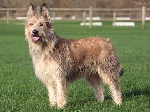 Berger de Picardie: cane da pastore francese!