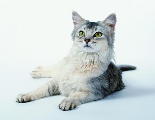 Razze feline: Somalo silver!