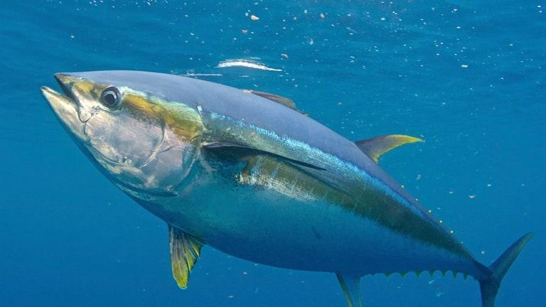 Tonno pinna gialla: migratore degli oceani!