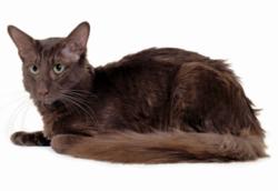Javanesi: gatti ibridi!