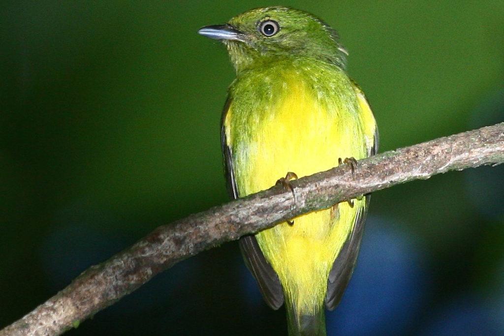 Un volatile ibrido in Amazzonia!