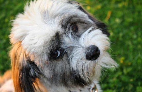 Il cane di seta de L'Avana…