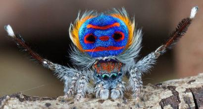 Il ragno pavone, che seduttore!