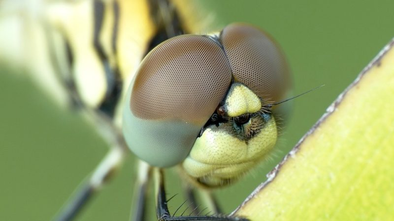 Sapevi che la libellula ha ben 28 mila occhi?