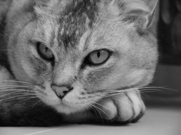 Burmilla (gatto a pelo corto)!