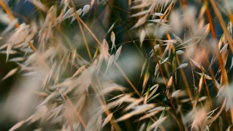 Attenzione ai forasacchi: nemici delle orecchie (e non solo)…