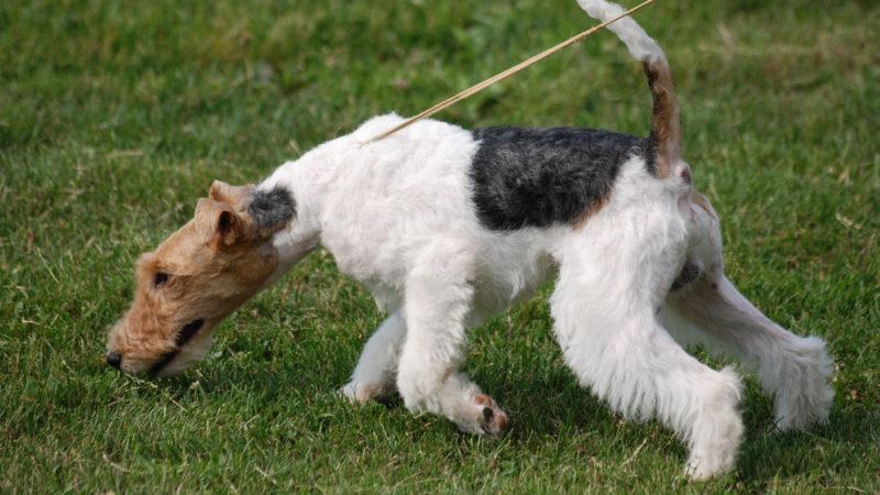 Fox Terrier: ma quanto costa?