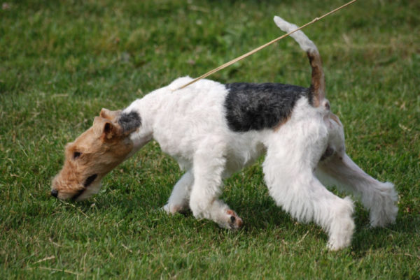 Fox Terrier: ma quanto costa?