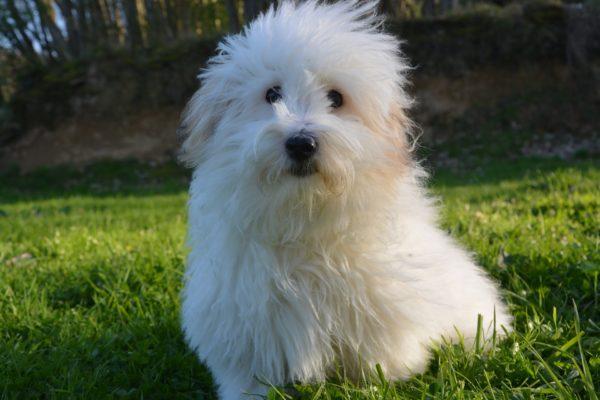 Bolognese: un cane da spazzolare più volte al giorno!