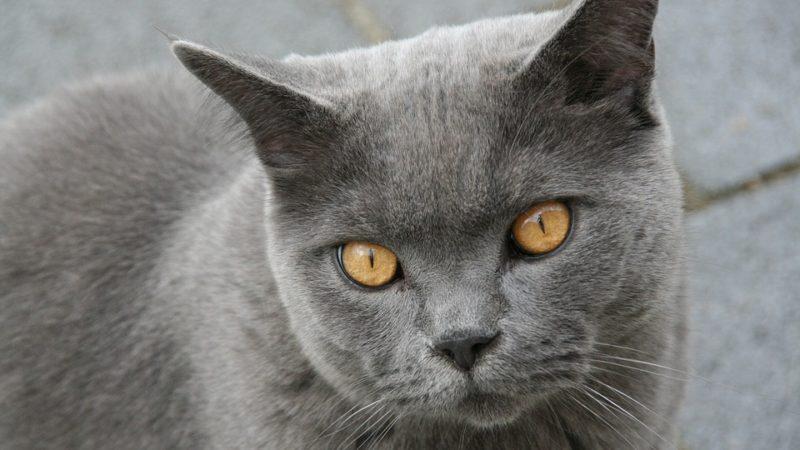 British Shorthair: il gatto dallo sguardo magnetico!
