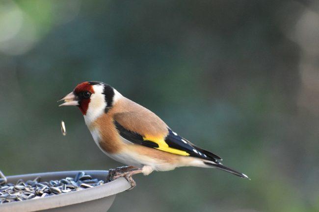 I Carabinieri del CITES liberano 30 uccellini…