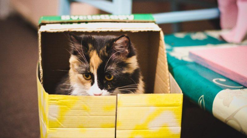 Perché i gatti amano stare nelle scatole? Risponde il veterinario Chiara Dolzani…