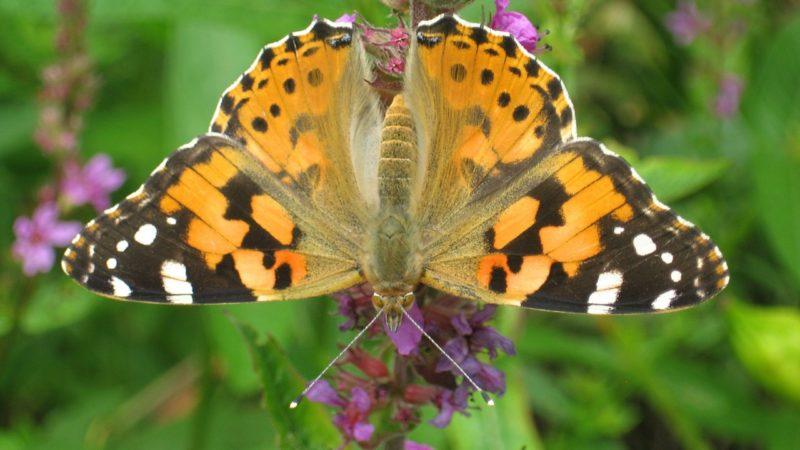 Cynthia: la farfalla maratoneta!