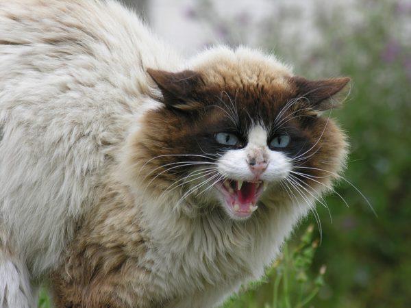 Perché il gatto soffia? Risponde il veterinario Chiara Dolzani…