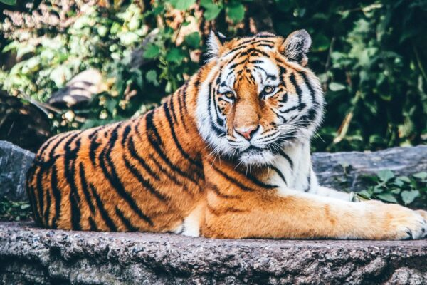 Tigre: aumentano gli esemplari!