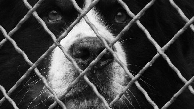 La missione: salvare 100 cani dal triste destino di diventare cibo!