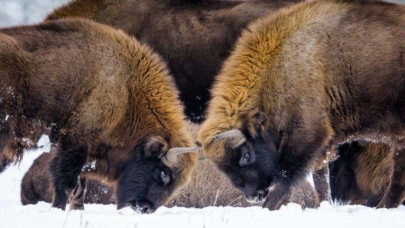 I bisonti per ricostruire un ecosistema antico in Siberia!