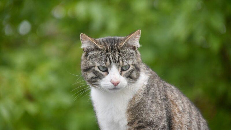 Anche i gatti possono soffrire di fegato grasso…
