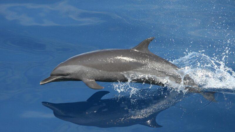 Delfini? Si aiutano e collaborano tra loro…