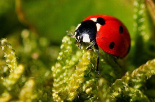 Coccinella: portafortuna per l'uomo o per la natura?