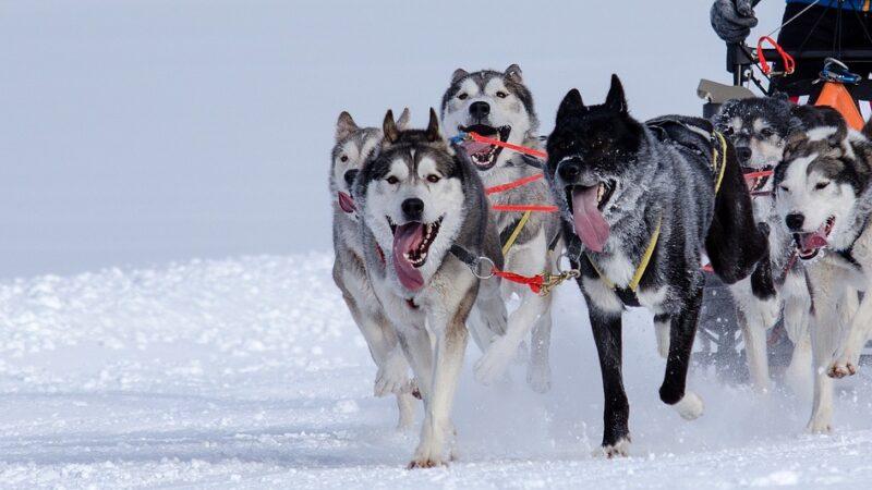 Alla scoperta dello sled dog…