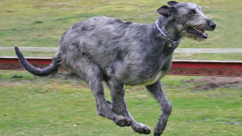Irish Wolfhound: il gigante dei cani!
