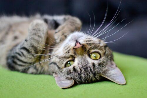 Ho un gatto tranquillo, ma non si lascia accarezzare sulla pancia. Perché?