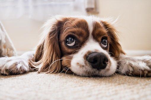 Perché il tuo cane ha la tosse?