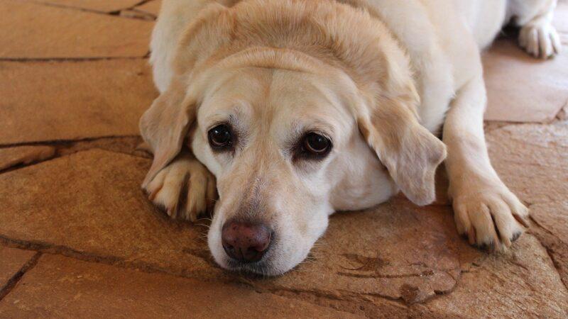 Perché il cane fa la pipì in casa nonostante esca regolarmente?
