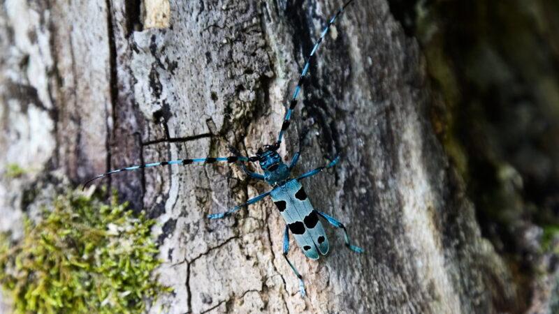 Coleottero Rosalia alpina…
