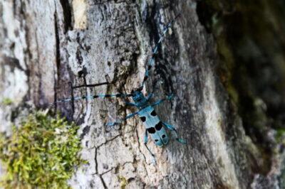 Coleottero Rosalia alpina (scoprilo qui)…