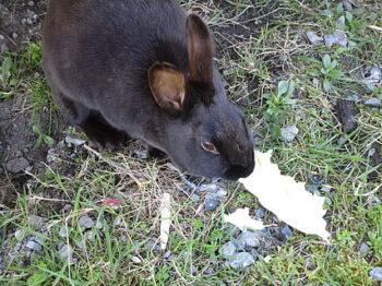 Coniglio: è vero che erba e vegetali bagnati non vanno dati ai conigli?