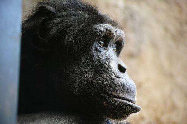 Scimpanzé: ambiente giusto, vita lunga!