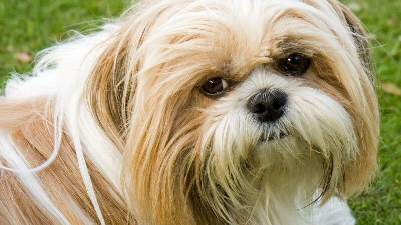 Shih Tzu: cane da compagnia?