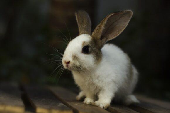 Coniglio domestico: ecco qualche consiglio…