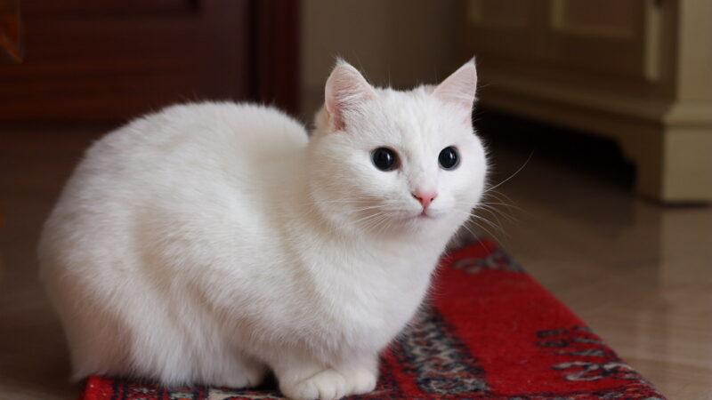 Cosa fare se la gatta diventa gelosa e aggressiva…