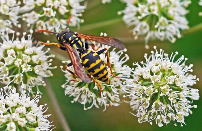 Api e vespe: occhio alle loro punture!