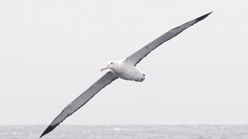 Il volo degli albatri: come riescono a coprire distanze così straordinarie?