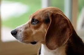 Gli animali domestici possono avere delle allergie?
