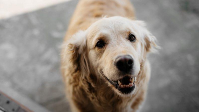 Il cane scodinzola solo quando è contento?
