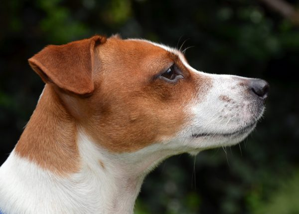 Jack Russell: divertimento assicurato!