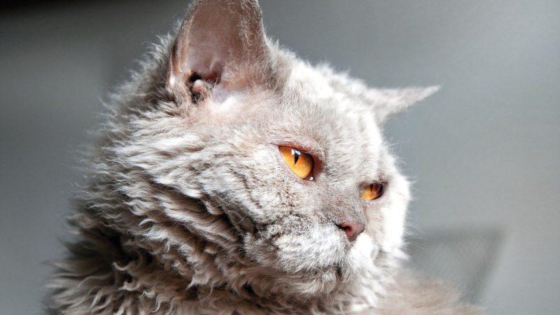 "Selkirk Rex: il gatto ""peluche""!"