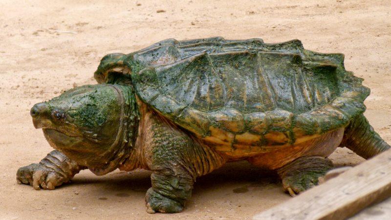 Tartaruga Alligatore (la regina corazzata)!